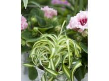 Ampellilja med skruvade blad och stjälkar
