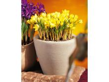 Botanisk krokus 'Saturnus' och Iris reticulata 'Purple Gem'