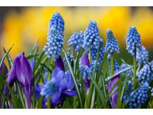 Nordisk planteringsdag - pärlhyacint & krokus