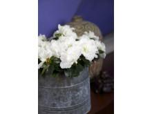 Fönsterazalea Rhododendron simsii Madame Troch