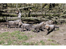 Bilder från pressvisning av geparder i Borås Djurpark