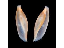 Ny marin snäckart i svenska vatten, S. hiscocki, närbild av skal