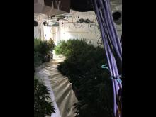 Cannabis farm 005