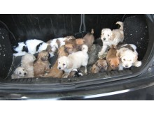 Puppies in boot