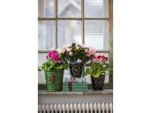 Vår på fönsterbrädan med primula, azalea och engelsk pelargon.