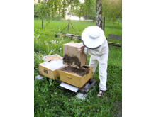 """Biodlare """"slår in"""" en svärm bin i en ny kupa"""