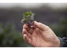 Flower sprouts i händerna på odlaren Mattias Hansson