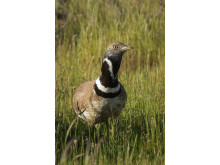 Sony Nature Litle Bustard