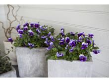 Viola stemorsblomst