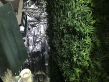 Cannabis [02]
