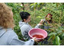 Ein Kaffee, der Schule macht. Schülerinnen bei der Kaffeeernte auf der Plantage Gitesi
