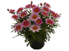 Margerit, Argyranthemum-frutescens-Madeira-Pink-Halo_36271_4