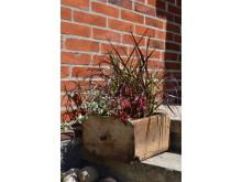 Fjäderborstgräs 'Rubrum', palettblad och silvernjurvinda i entrén