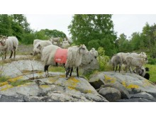 Не все овцы могут стать гидами!