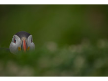 ©Sam Hobson_UK_SonyNaturePuffin12