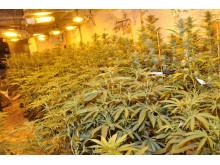 Linacre Lane cannabis farm