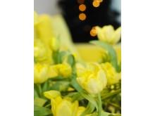 Tulipa liliaceae 'Monte Carlo'