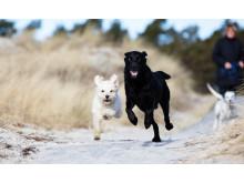 Hundar på stranden