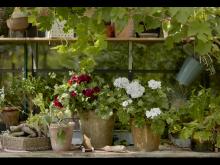 Pelargoner, vild trädgård, 2021