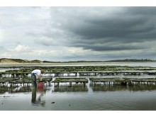 Einzigartig in Deutschland: Austernbänke im Watt vor List