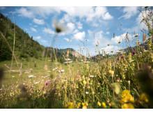 Blühende Wiesenmischkultur