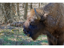 Sony Nature Bison