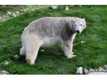 Eisbär im  Zoo Rostock