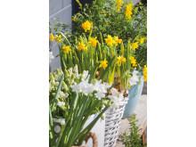 Blomsterlökar till uteplatsen