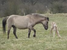 Foto af de konik heste der bliver sat ud på Bjergskov. Her en hoppe og et føl.