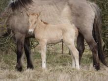 Foto af de konik heste der bliver sat ud på Bjergskov. Her en hingst og et føl