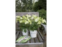 Blomstertobak 1