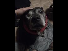 'Angel' - Staffordshire Bull Terrier [1]