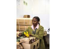 Airflo employee handles roses in Nairobi, Kenya.
