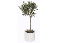 Oliventre i grow-in selvvanningspotte