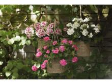 Pelargoner i trädgården