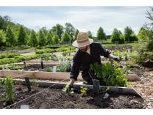 Plantering av växter enligt Linnés Sexualsystemet