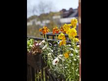 Gyllenlack och atlaskrage ger liv på balkongen