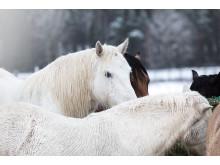 Hästar på vintern