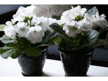 Gloxinia Sinningia speciosa Multibells-serien två vita