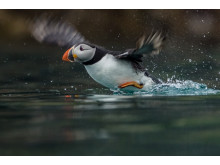 Sony Nature Puffin
