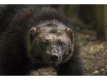 Zeldzame beelden van meest bedreigde diersoorten in Europa