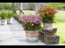 Röllekor, Achillea millefolium 'Milly Rock Red'  &  'Milly Rock Rose' nyheter 2021