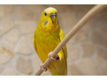 Sällskapsfågel