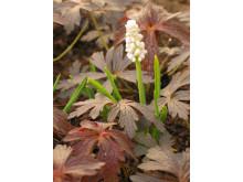 Pärlhyacint, Muscari botryoides 'Album'