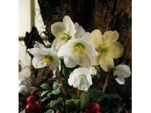 Vita julrosor närbild