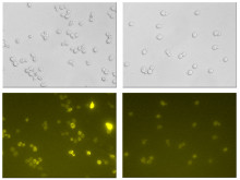 Less cell damages in engineered yeast