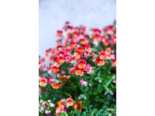 Nemesia Sunsatia 'Blood orange'