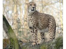 Gepard_Zoo Rostock_Kloock