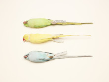 Felicity McCabe, 5 Psittacula krameri (three rose-ringed parakeets)