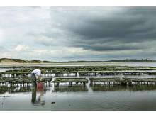 Austernbänke im Wattenmeer vor List